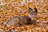 Mule Deer yearling bedded in leaves-2516
