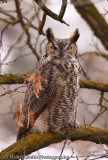 Mad Great Horned Owl II-3403