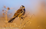 White Crowned Sparrow 3609
