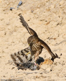 Cooper's Hawk and Starling in life and death struggle.-1313.jpg
