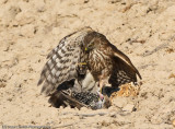 Never give up starling grabs hawks leg in effort to save its life-1312.jpg