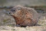 Une belle petite marmotte!!