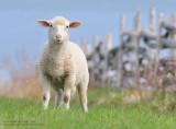 Dessine-moi un mouton!!