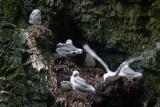 Kittiwake Nest