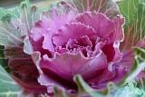 135 ornamental cabbage.jpg