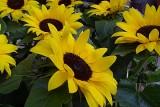 139 sunflowers.jpg