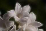 hyacynth