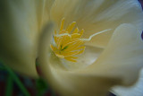 white California poppy