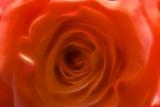 orangey rose