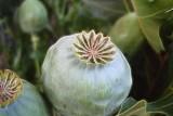 oriental poppy seedheads