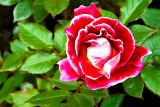 RoseswithoutGunBotanicgarden