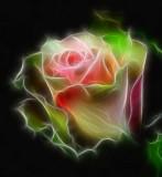coninental rose