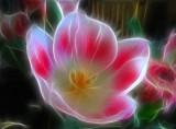 pink n white tulip