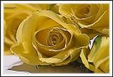 Yellow rose Photoshop smudge