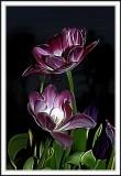 Photoshop smudge tulips