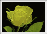 yellow rose smudged in Photoshop