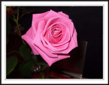 pink rose smudged in Photoshop
