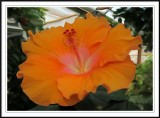 orange hibiscus smudged in Photoshop