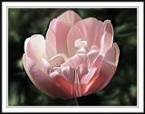 pink tulip Photoshop smudge