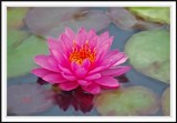 Walters fabulous water lily