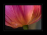 Up close tulip smudged in Photoshop.