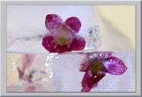 plum flower in two ice cubes