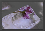 ice cube with plum flower