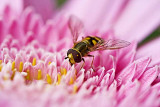 hover fly on pink gerbera