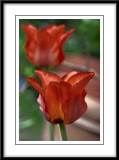 red botanical tulips....