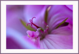 pink geranium...