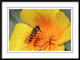 hover fly grazing on a Californian poppy....
