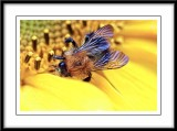 bee on a sunflower...