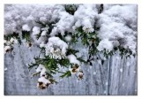 snow dressed daisies in a zinc planter...