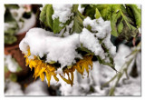 sunflower wearing a snow coat...