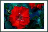smudged red rose ....