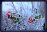 frosty roses....
