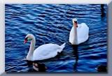 beautiful swans...