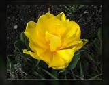 tulip double yellow