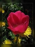 tulip pretty in pink