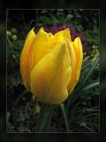 tulips yellow