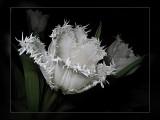 tulip frilly white