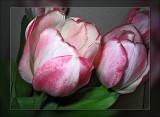 tulip pink n white