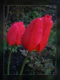 tulip raindrops