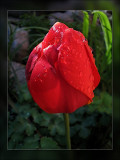 tulip raindrops on red
