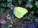 Brimstone butterfy