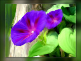 Daves morning glories
