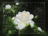 Daves-white-rose-web.jpg
