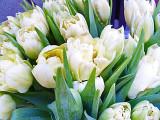 89 cream tulips.jpg
