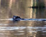 Early morning beaver
