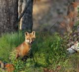 Dog fox pup